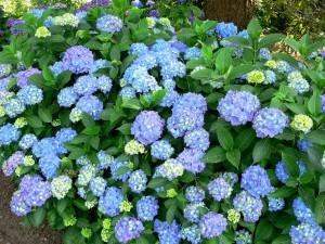 Hydrangea_macrophylla_Blauer_Prinz_1