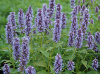 2015-6-17 Blue anise hyssop