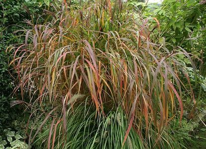2015-7-8 Miscanthus purpurescens