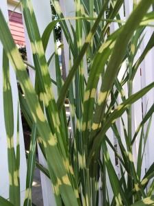 2015-7-8 Strictus grass